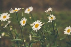 Depth Field Photography of White Petaled Flowers royalty free stock photos