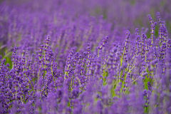 Depth of Lavender field. Cotswold lavender field, England, United kingdom Royalty Free Stock Image
