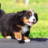 Deputy Dog Royalty Free Stock Photography