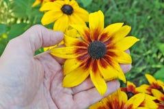 Der ältere Mann - Landwirt-Auswahl und Sorgfalt von Rudbeckia färbt flo gelb Lizenzfreie Stockfotos