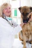 Der ältere umarmende Tierarzt und beruhigt den Schäferhund Dog Stockbild