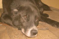 Der ältere zentrale asiatische Schäferhund Stockbilder