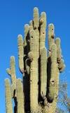 Der älteste Arizona-Saguaro Methuselah Lizenzfreies Stockbild