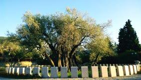 Der älteste Olivenbaum in der alten Stadt der Stange in Montenegro Lizenzfreie Stockfotos