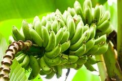 Der Überfluss an der Banane Stockfoto