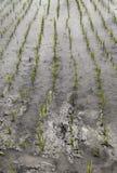 Der Abdruck des Landwirts auf dem bebauten Reisgebiet Lizenzfreie Stockbilder