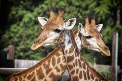 Der Abschluss der Giraffe oben Stockfoto