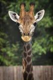 Der Abschluss der Giraffe oben Stockbild