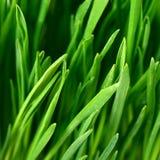 Der Abschluss des grünen Grases oben Lizenzfreie Stockfotos
