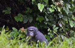 Der Abschluss herauf Bonobo im natürlichen Lebensraum Grüner natürlicher Hintergrund Lizenzfreie Stockfotografie