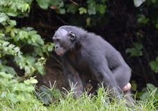 Der Abschluss herauf Bonobo im natürlichen Lebensraum Grüner natürlicher Hintergrund Lizenzfreie Stockbilder