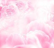 Der Abschluss herauf die süße rosa Gartennelke blüht Stockbilder