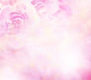 Der Abschluss herauf die süße rosa Gartennelke blüht Stockbild