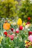 Der Abschluss herauf die schönen bunten Tulpen, die Garten im im Freien blühen Stockbild