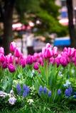 Der Abschluss herauf die schönen bunten Tulpen, die Garten im im Freien blühen Lizenzfreies Stockfoto