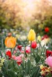 Der Abschluss herauf die schönen bunten Tulpen, die mit Sonnenuntergang/Sonne blühen Lizenzfreie Stockfotos