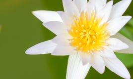 der Abschluss herauf gelben Blütenstaub der Lotosblume im Poolwasser Kopieren Sie s Stockbilder