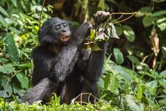 Der Abschluss herauf Porträt des Essens des jugendlichen Bonobo im natürlichen Lebensraum Grüner natürlicher Hintergrund Stockfotos