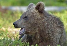 Der Abschluss herauf Porträt des Jungen des wilden Braunbären Stockbild