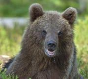 Der Abschluss herauf Porträt des Jungen des wilden Braunbären Lizenzfreie Stockfotos