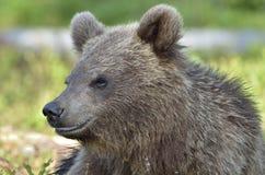 Der Abschluss herauf Porträt des Jungen des wilden Braunbären Stockfotos
