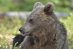 Der Abschluss herauf Porträt des Jungen wilder Braunbär Ursus arctos Stockfotos