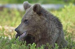 Der Abschluss herauf Porträt des Jungen wilder Braunbär Ursus arctos Lizenzfreie Stockbilder