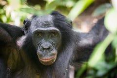 Der Abschluss herauf Porträt des männlichen Bonobo im natürlichen Lebensraum Grüner natürlicher Hintergrund Der Bonobo (Pan-panis Lizenzfreie Stockbilder