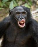 Der Abschluss herauf Porträt des männlichen Bonobo im natürlichen Lebensraum Grüner natürlicher Hintergrund Der Bonobo (Pan-panis Lizenzfreie Stockfotografie