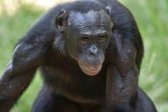 Der Abschluss herauf Porträt des männlichen Bonobo im natürlichen Lebensraum Grüner natürlicher Hintergrund Der Bonobo (Pan-panis Stockbilder