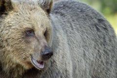 Der Abschluss herauf Porträt des wilden erwachsenen Braunbären Lizenzfreies Stockfoto