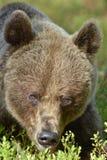 Der Abschluss herauf Porträt des wilden erwachsenen Braunbären Lizenzfreies Stockbild