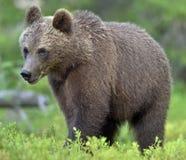 Der Abschluss herauf Porträt des wilden Jungen des Braunbären Lizenzfreie Stockfotografie