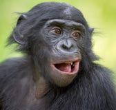 Der Abschluss herauf Porträt von Bonobo (Pan Paniscus) auf dem grünen natürlichen Hintergrund Stockfotos