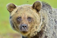 Der Abschluss herauf Porträt von wilden erwachsenen Braunbär Ursus arctos arctos Lizenzfreies Stockfoto