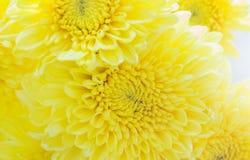 Der Abschluss oben der frischen Chrysantheme, selektiver Fokus Stockbild