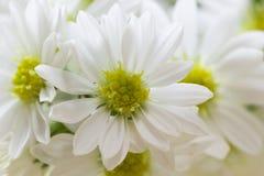 Der Abschluss oben der frischen Chrysantheme, selektiver Fokus Lizenzfreies Stockbild