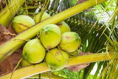 Der Abschluss oben der frischen Kokosnuss Stockfoto