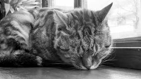 Der Abschluss oben der netten Katze, die auf dem Holztisch schläft Stockfotografie