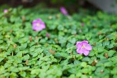 Der Abschluss oben der purpurroten Blume mit grünen Blättern Stockfoto
