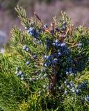 Der Abschluss oben des Kegels - Beere ähnlich - Juniperus excelsa, allgemein genannt den griechischen Wacholderbusch Lizenzfreie Stockfotos