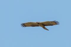Der Abschluss oben des Offen-berechneten Storchs Stockfotografie