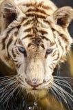 Der Abschluss oben des weißen Tigers Lizenzfreie Stockbilder