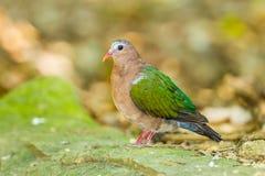 Der Abschluss oben von Emerald Dove Lizenzfreies Stockfoto