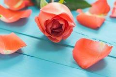 Der Abschluss oben von frischen Rosen auf Purpleheart, selektiver Fokus Lizenzfreies Stockbild