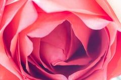 Der Abschluss oben von frischen Rosen, selektiver Fokus Stockfotos