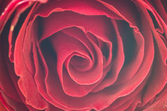 Der Abschluss oben von frischen Rosen, selektiver Fokus Lizenzfreie Stockfotografie