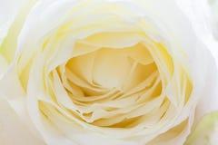 Der Abschluss oben von frischen Rosen, selektiver Fokus Stockfotografie