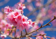 Der Abschluss oben von Kirschblüte blüht Blüte Lizenzfreie Stockfotos