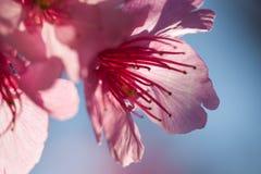 Der Abschluss oben von Kirschblüte blüht Blüte Lizenzfreies Stockbild